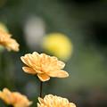 105神代植物公園【ダリア:小舟】2
