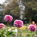 107神代植物公園【ダリア:レオナ】1