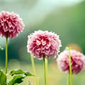 108神代植物公園【ダリア:レオナ】2銀塩NLP