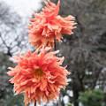 109神代植物公園【ダリア:ピンキー・サンタ】1