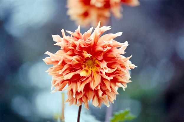 110神代植物公園【ダリア:ピンキー・サンタ】2銀塩NLP