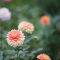 111神代植物公園【ダリア:日和】1