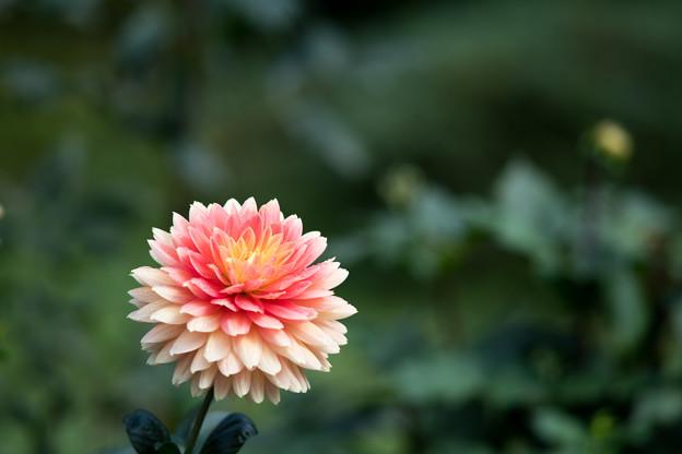 112神代植物公園【ダリア:日和】2