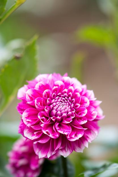 115神代植物公園【ダリア:ビューティフル・デイズ】1