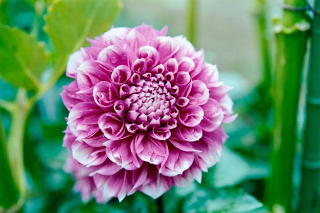 116神代植物公園【ダリア:ビューティフル・デイズ】2銀塩NLP