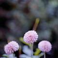 119神代植物公園【ダリア:ティアラ】銀塩NLP