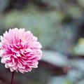 121神代植物公園【ダリア:ロイヤル・ウェディング】銀塩NLP