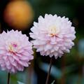 123神代植物公園【ダリア:そよ風】銀塩NLP