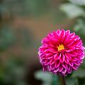125神代植物公園【ダリア:ストロベリー・ムーン】