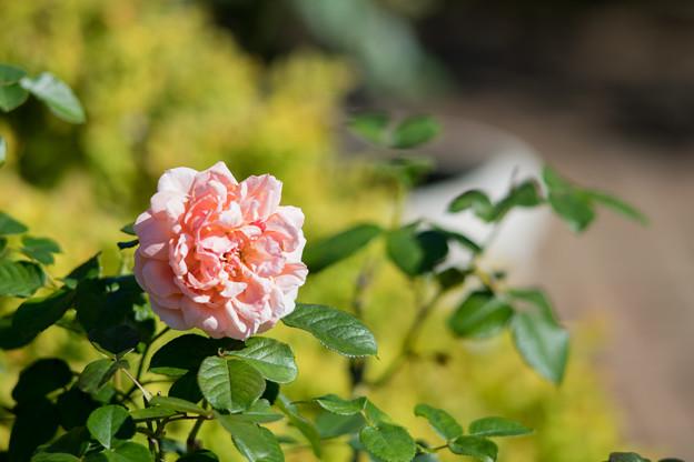 046花菜ガーデン【秋バラ:花菜ローズ】1