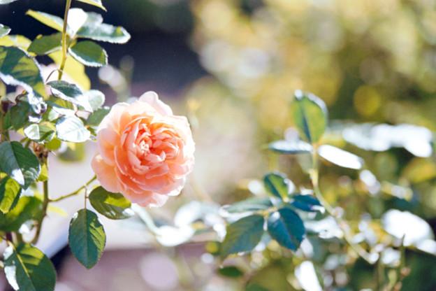 047花菜ガーデン【秋バラ:花菜ローズ】2銀塩NLP