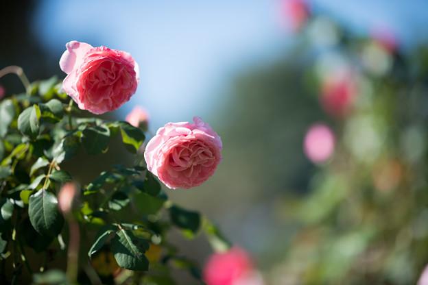 048花菜ガーデン【秋バラ:サマンサの夏】1