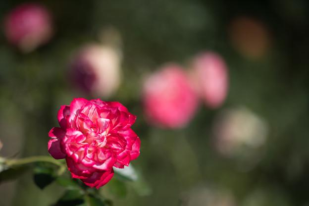049花菜ガーデン【秋バラ:サマンサの夏】2