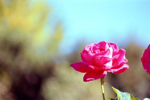 051花菜ガーデン【秋バラ:マリア・カラス】2銀塩NLP