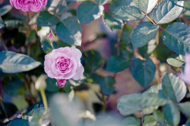 053花菜ガーデン【秋バラ:コティリオン】2銀塩NLP