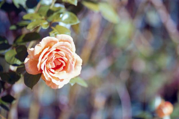 055花菜ガーデン【秋バラ:アシュラム】2銀塩NLP