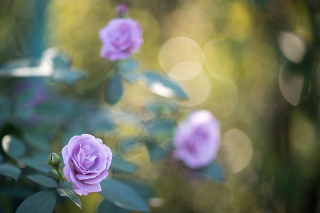 056花菜ガーデン【秋バラ:タソガレ】1