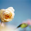 087花菜ガーデン【秋バラ:リッチフィールド・エンジェル】銀塩NLP