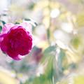 092花菜ガーデン【秋バラ:アンジェラ】銀塩NLP