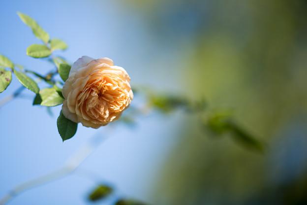 095花菜ガーデン【秋バラ:クラウン・プリンセス・マルガリータ】