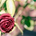 097花菜ガーデン【秋バラ:チョコレート・サンデー】銀塩NLP