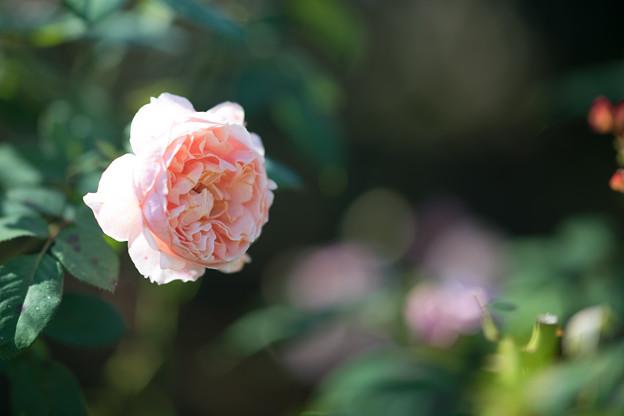 098花菜ガーデン【秋バラ:ポール・ボキューズ】
