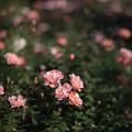 108花菜ガーデン【秋バラ:ラズベリー・ロワイヤル】