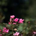 109花菜ガーデン【秋バラ:ブラッシング・ノック・アウト】