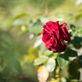 110花菜ガーデン【秋バラ:ニコロ・パガニーニ】