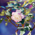 111花菜ガーデン【秋バラ:ジュビレ・デュ・プリンス・ドゥ・モナコ】銀塩NLP