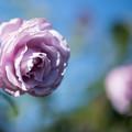 112花菜ガーデン【秋バラ:シークレット・パフューム】