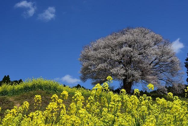馬場の山桜-4