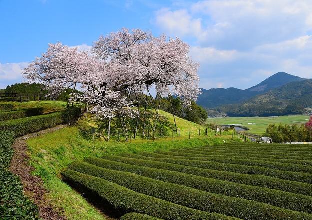 納戸料の100年桜2