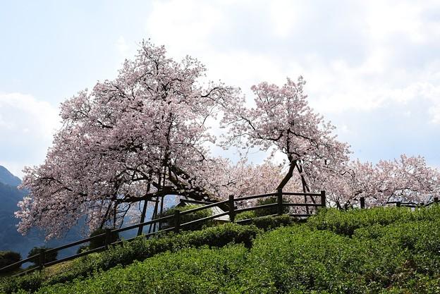 納戸料の百年桜-2