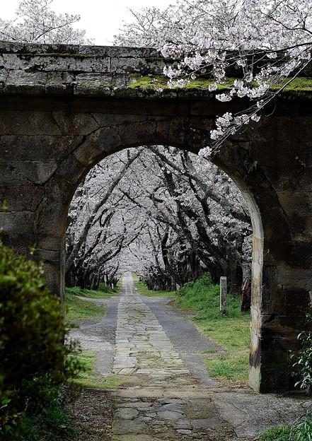 円応寺の桜