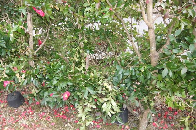 駐車場の横は山茶花の垣根