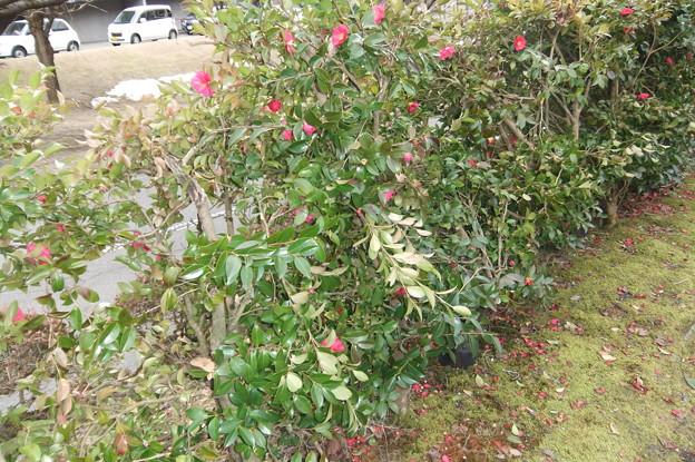 駐車場の横は山茶花の垣根 2
