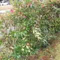 Photos: 駐車場の横は山茶花の垣根 2