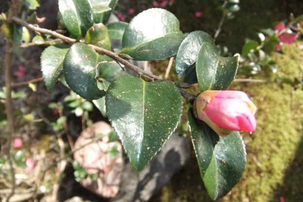 Photos: 山茶花の花