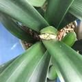 君子蘭の芽