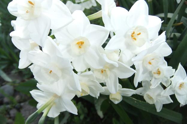 房咲き水仙 2