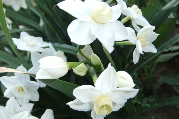 房咲き水仙 3