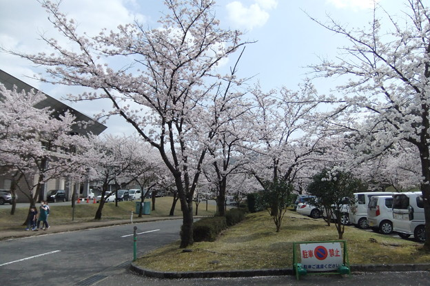 桜の花 5