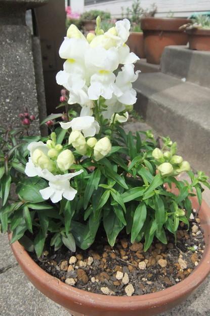 キンギョソウの花