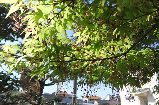 楓の小さな花 2