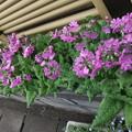 日本桜草の花がプランター3個