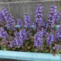 アシュガの花