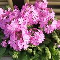 日本桜草 鞠の様に花が咲いています