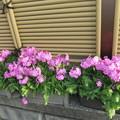 プランターの日本桜草