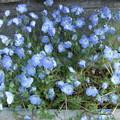 ネモフイラの花も満開に